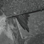 Wilson_birdwing